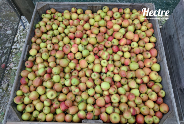 A full apple bin in the orchard