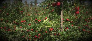 Apples in the field by Hectre