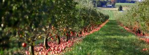Apple orchard with fall