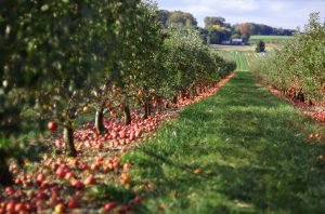 Image of a red apple orchard