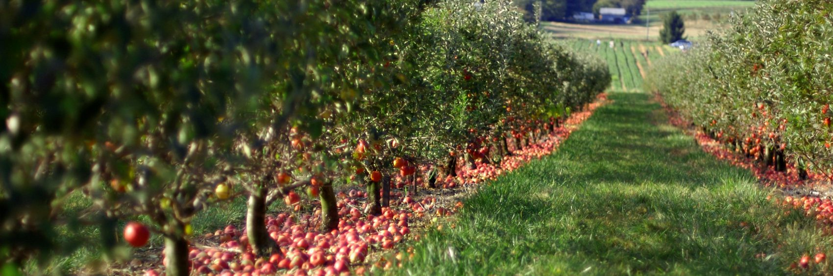 Beautiful rows of apples trees