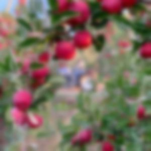 Apple orchard branches
